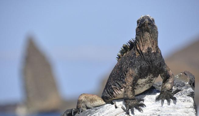 Marine Iguana, Bartholome Island, Galapagos