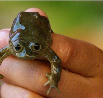 Frog, Pre-Juice